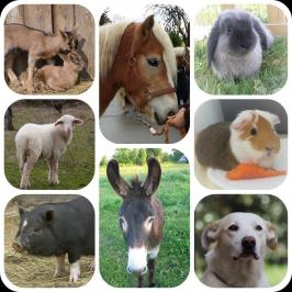 ferme itinérante, animaux de la ferme, ani'mes sens, savy en équilibre, Equivallée, médiation animale